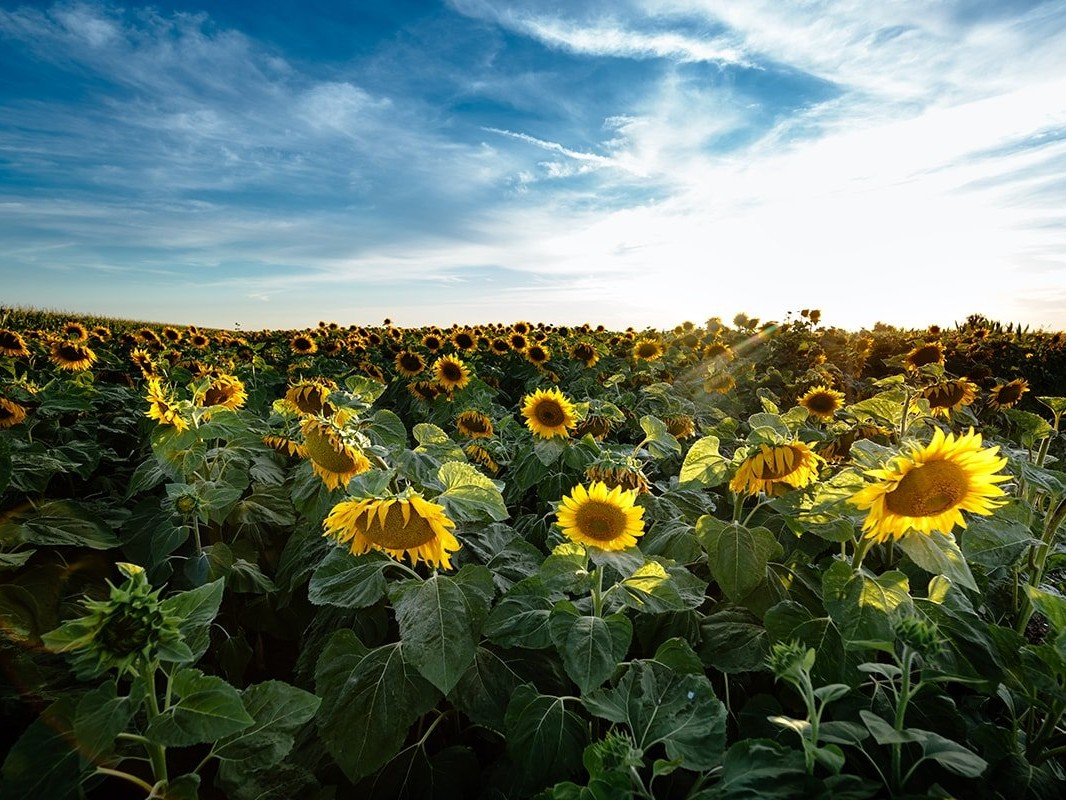 Field of sun flowers
